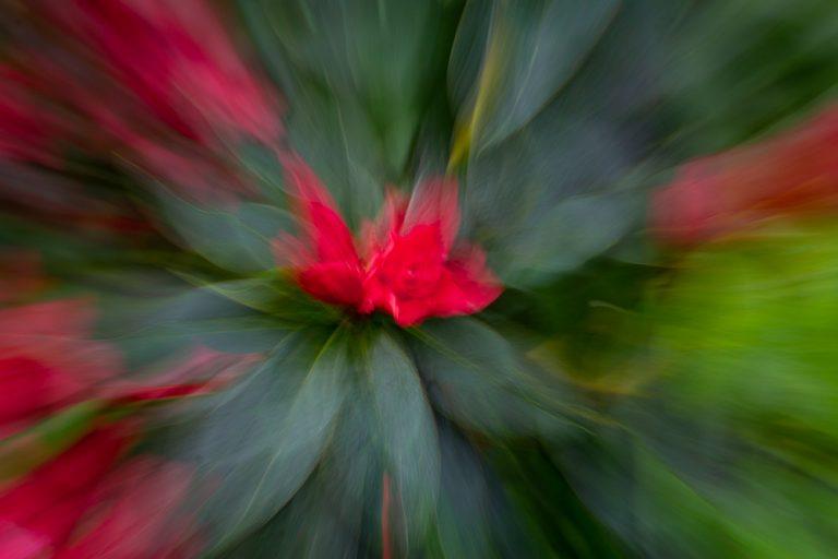 Zoom burst (eine ICM Technik) einer kräftig roten Blüte und ihrer tief grünen umliegenden Blätter. Dabei sieht es aus, als würde alles um die Blüte herum wegfliegen.