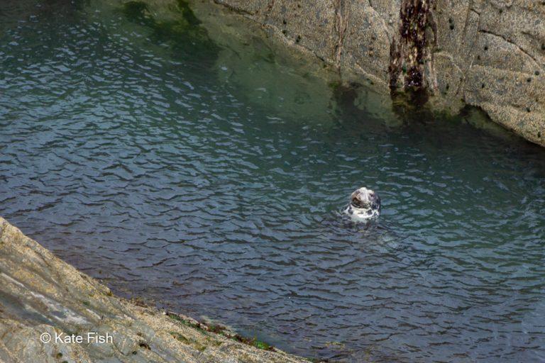 Robbenkopf aus dem blauen Wasser tief unter der Steilküsteschauend