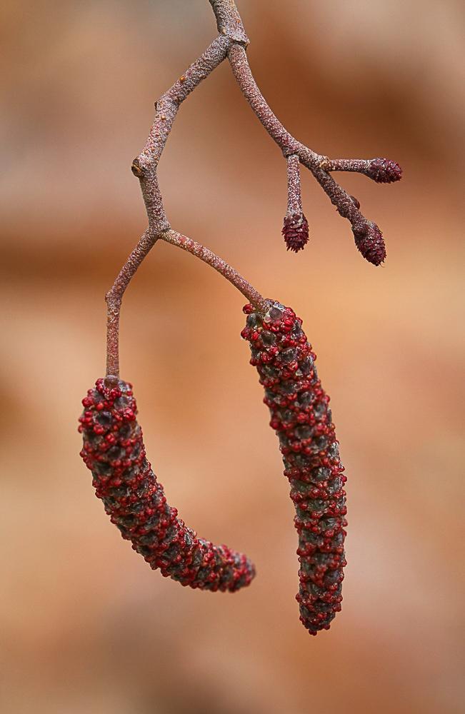 Fotostack von weiblichen und männlichen Erlenblüten mit schönem Ton n Ton Bokeh