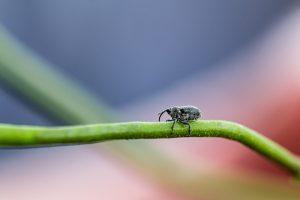 Lundy Rüsselkäfer auf Lundy cabbage-5708