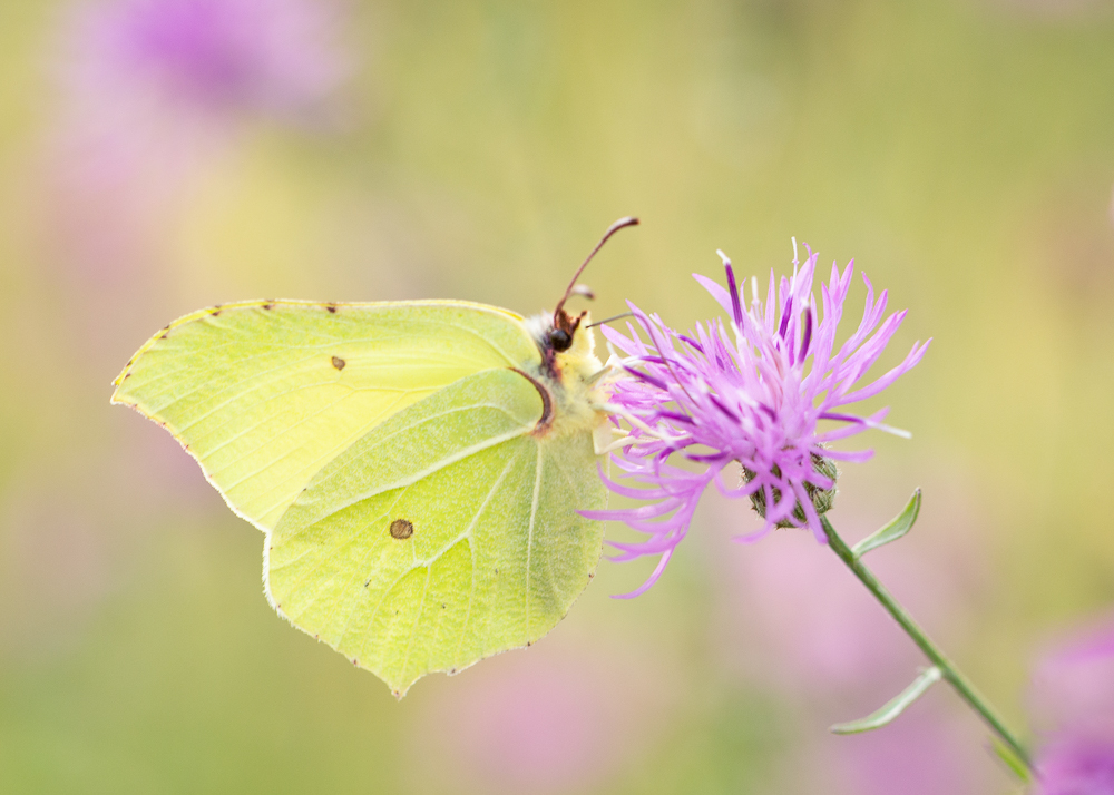 Common brimstone on purple flower with lovely blurred background