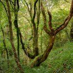 Baumgesicht im Wald in der Nähe von St. Nectans Glen Baum der aussieht wie ein fliehender Geist