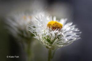Bokeh oder unscharfer Hintergrund? Weiß gelbe Blüte mit zweiter unscharfer dahinter