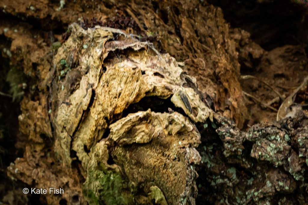 Baumgesicht in Form eines Fischmauls aus dem Wurzelbereich eines abgestorbenen alten Baumes in schönem rotbraun