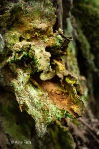 Baumgesicht vielleicht ein Waldschrat aus dem mit Flechten und Mosen bewachsenen Rest eines hohlen Baumstumpfes