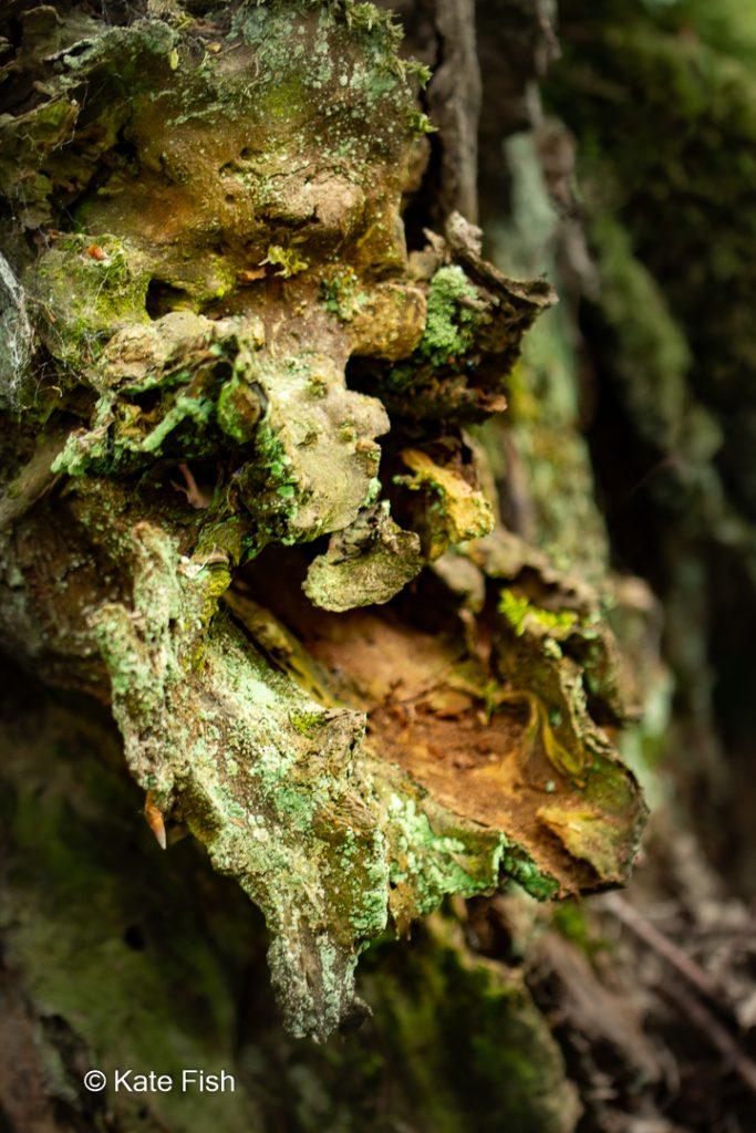 Baumgesicht vielleicht ein Waldschrat aus dem mit Flechten und Moosen bewachsenen Rest eines hohlen Baumstumpfes