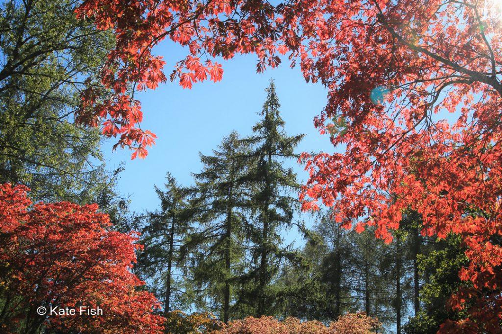 Nadelbäume eingerahmt von rotem Ahorn aufgenommen im Westonbirt Arboretum (England)als Beispiel für Bildgestaltung - Motiv einrahmen