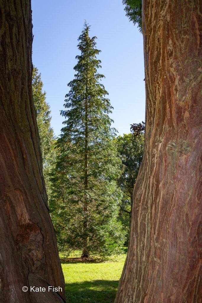 Tanne durch zwei Bäume (nur Stämme mit schöner Rinde und rötlichbraunem Farbton) hindurch fotografiert im Westonbirt Arboretum (England) als Beispiel für eine Bildgestaltung - Motiv einrahmen