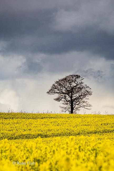 Baum im gelben Rapsfeld und dramatisch grauem Himmel mit tief hängenden Wolken als Beispiel für den Einsatz eines Teleobjektiv in der Landschaftsfotografie