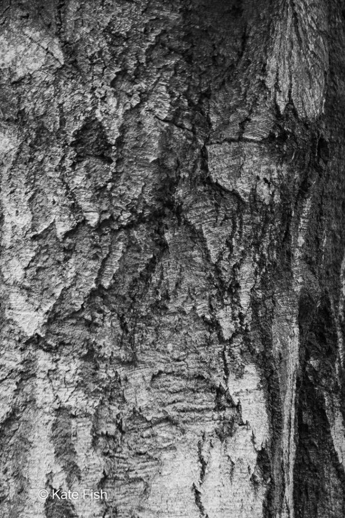 Ein schwarz weiß Foto eines Baumgesichtes in einer Baumrinde,. Zei Augen durch abgebrochene Rindenstücke und ein Mund aus alten Einschnitten