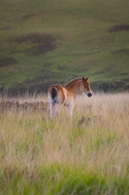 Exmoor Ponie in typischer Exmoor Hochebene als Beispiel für den Einsatz eines Teleobjektivs in der Landschaftsfotografie