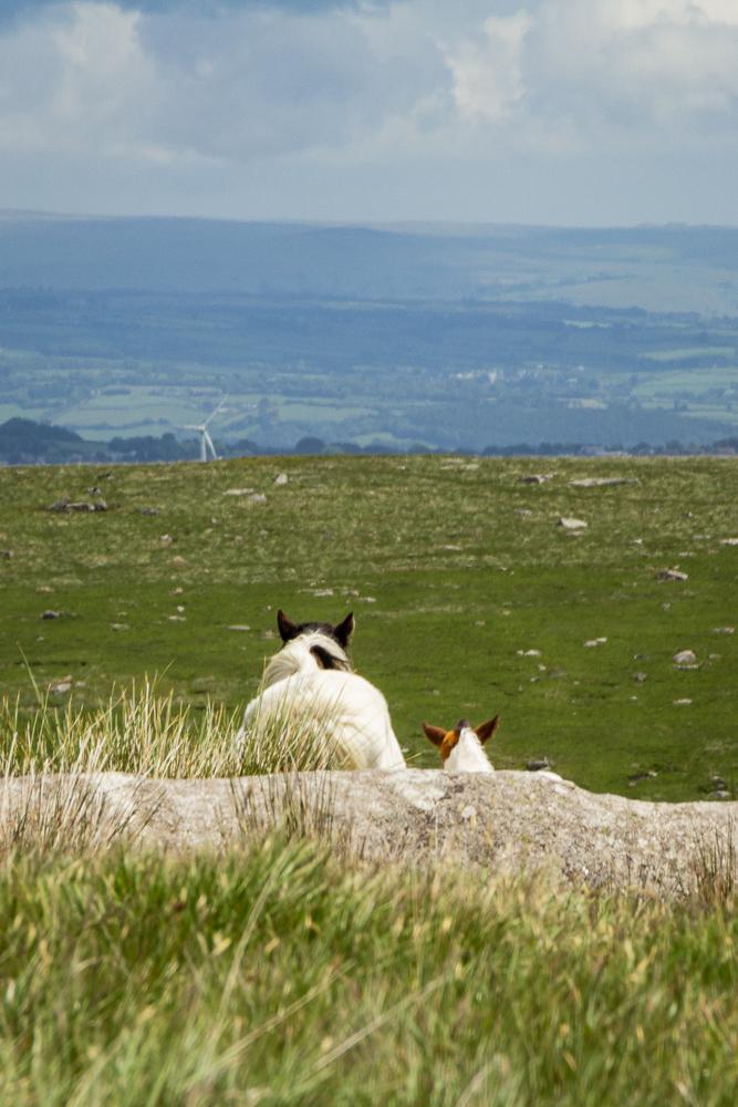 Ponies im Bodmin Moor, die in die weite Landschaft schauen als Beispiel für den Einsatz eines Teleobjektiv in der Landschaftsfotografie