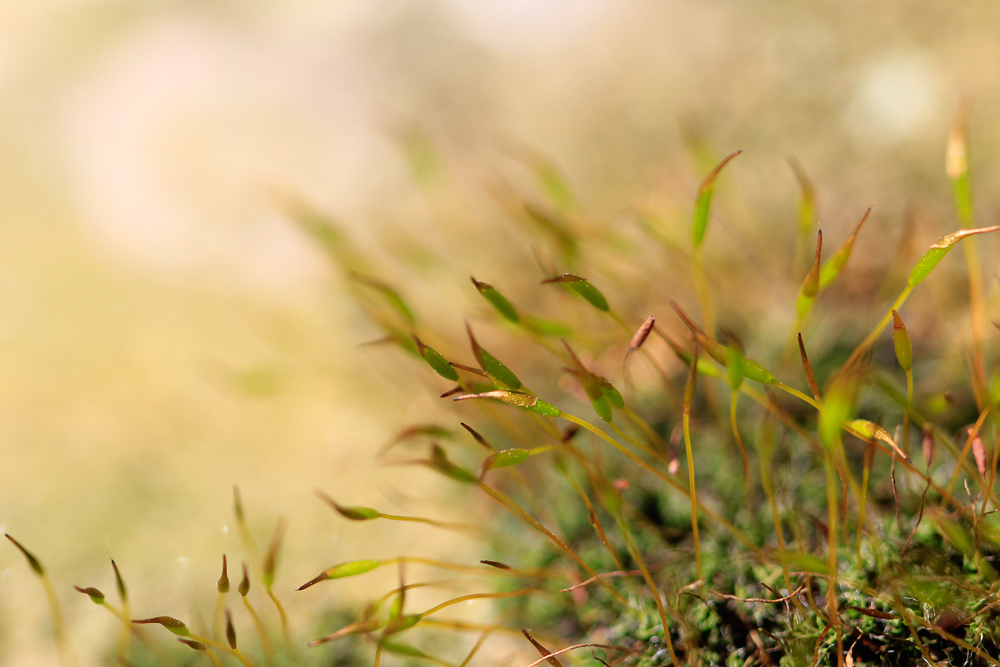 Moos mit schönem beige grünem Bokeh aus dem Fotokurs Makrofotografie
