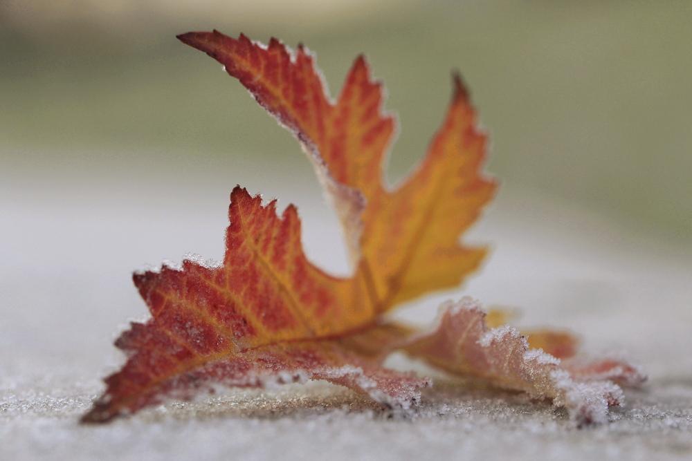 Frostiges rot gelbes Ahorn-Blatt mit geringer Tiefenschärfe und Fokus auf dem Frostrand als Beispiel für ein Foto aus dem Fotografie Kurs Makrofotografie