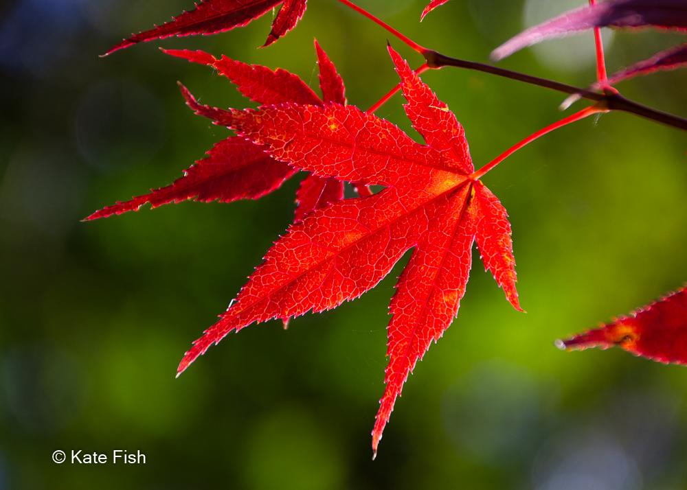 rotes Ahornblatt am Baum vor grünem Hntergrund als Beispiel für ein Bild aus dem Fotokurs Makrofotografie im Herbst