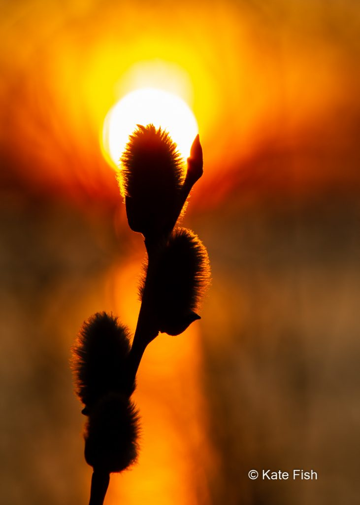 Silhouette von Weidenkätzchen