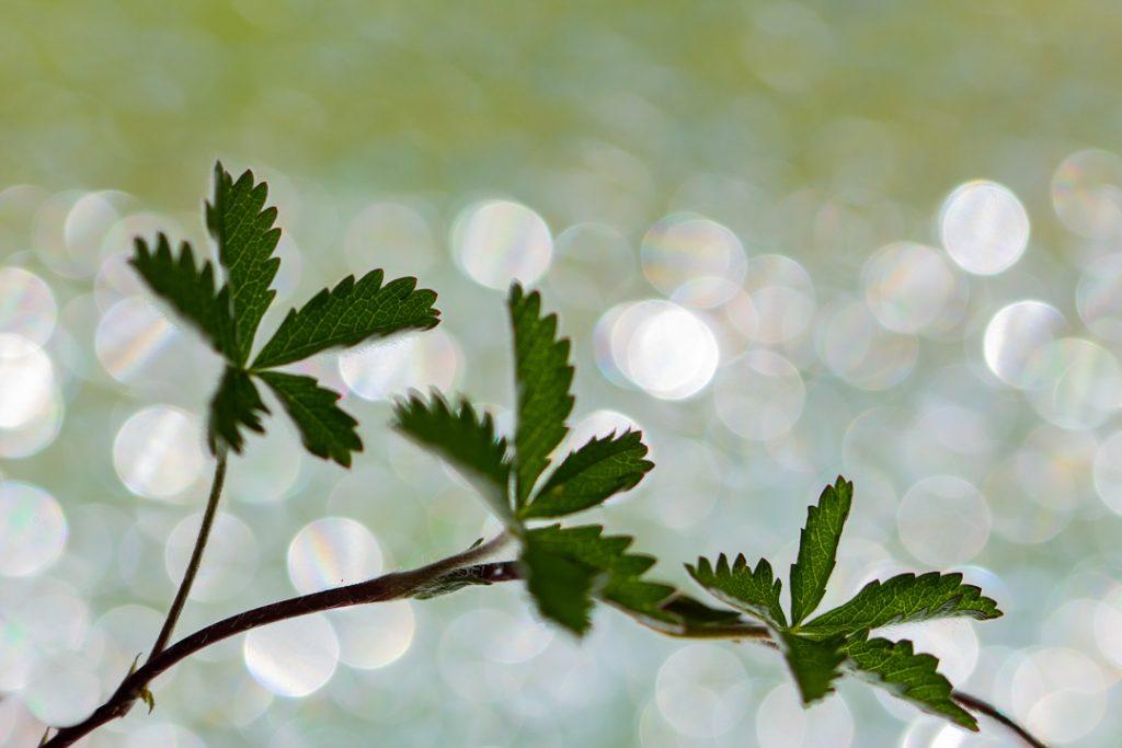 Fingerkraut mit 3 Blättern vor leuchtendem Bokeh aus weißen Kreisen