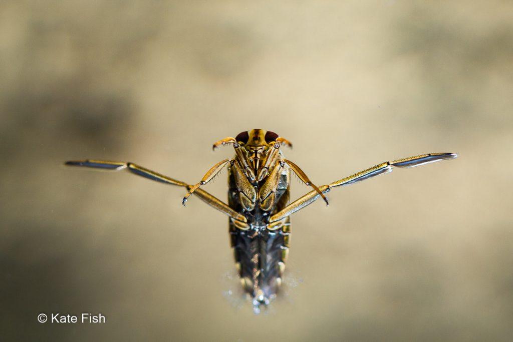 Rückenschwimmer mit ausgespreizten Hinterbeinen fast ildfüllend in schöner Scharfe als Beispiel für Insektenfotos im Wasser