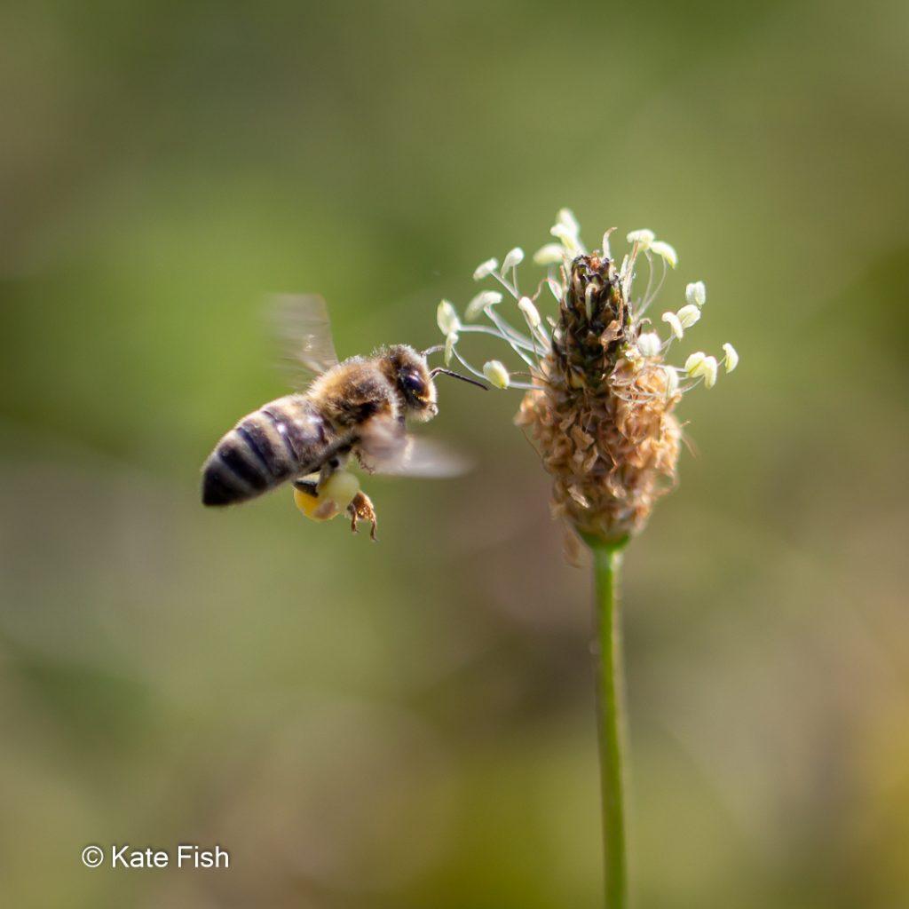 Insektenfotos - Biele im Flug auf eine Wegerichblüte