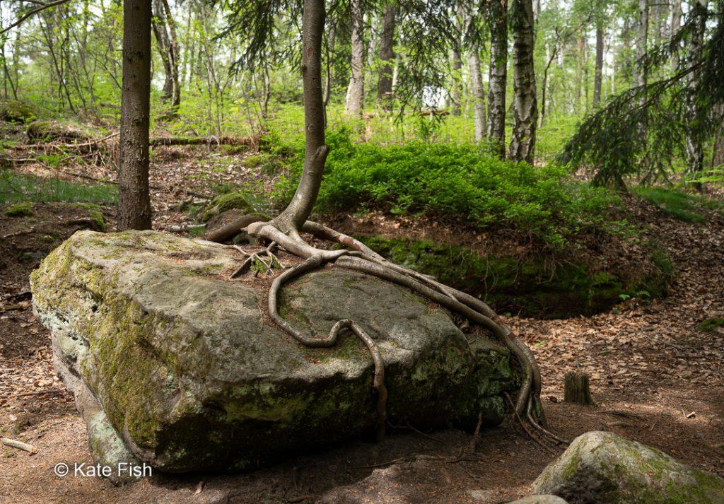 Interessante Wurzel als Beispiel für den Fokus auf Details für bessere Waldfotos