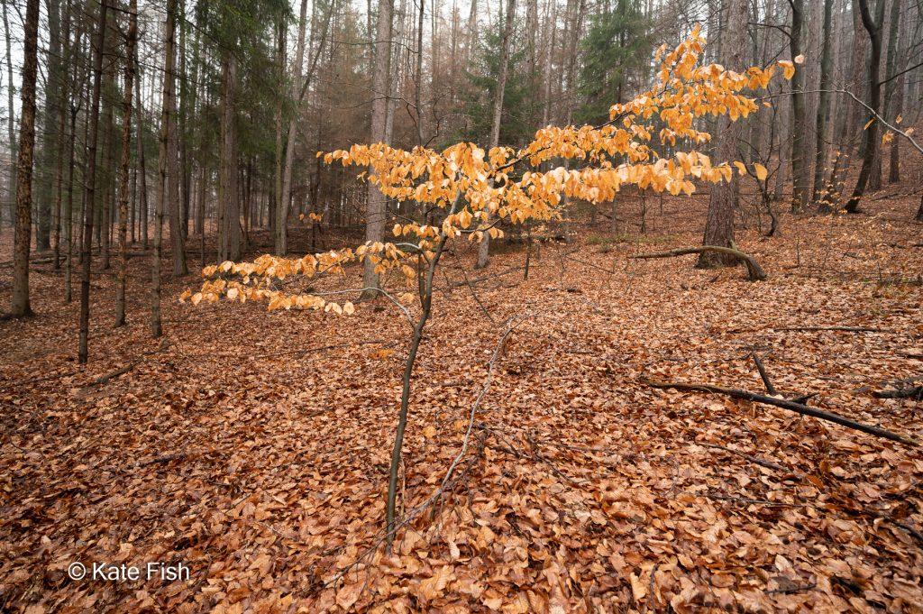 Bessere Waldfotos durch herausstellen eines einzelnen kleinen Baumes. Hier eine kleine Buche mit braunen Blattern gegen die nackten Stämme der großen