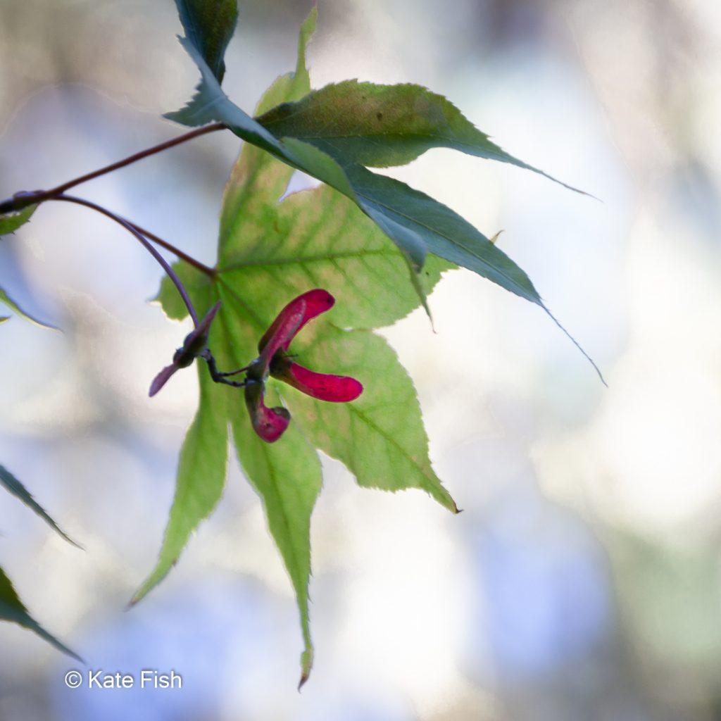 Ahornblatt mit Frucht im Gegenlicht als Beispiel für ein Makrofoto im Herbst